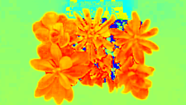a false-color image of two small plants side by side with leaves radiating outward; in rainbow colors like a heat map